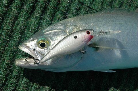 how to catch whiting on lures on surf beaches