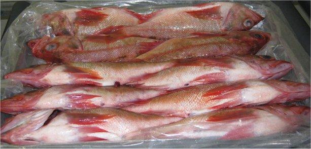 Ocean perch photos info catch cook buy for Sea perch fish